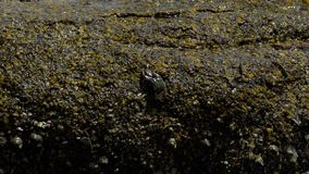 Krabben en rockskippers op de rots bij het strand stock footage