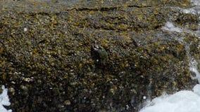 Krabben en rockskippers op de rots bij het strand stock video