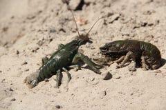 Krabben in het zand Royalty-vrije Stock Fotografie