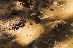 Krabben leben in den Mangroven Lizenzfreie Stockfotos