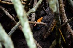 Krabben in mangrovebos royalty-vrije stock afbeeldingen