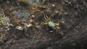 Krabben op de rots bij het strand stock footage