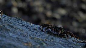 Krabben op de rots bij het strand stock videobeelden