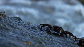 Krabben op de rots bij het strand stock video
