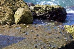Krabben op de rotsen stock foto