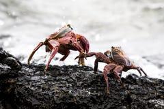 Krabben op een rots stock afbeeldingen