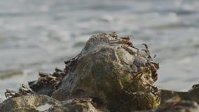 Krabben op rotsen stock footage