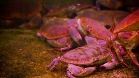 Krabben, Schaaldierkrabben in een aquarium stock videobeelden