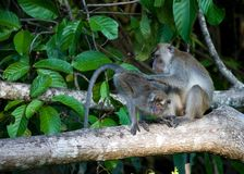 Krabbenetende makaak, Long-tailed Macaque, Macaca fascicularis royalty free stock photography