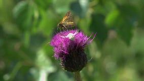 Krabbenspinne /Misumena vatia/, das versucht, Motte auf der Distelblume in Angriff zu nehmen stock footage