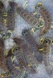 Krabbor Arkivbilder