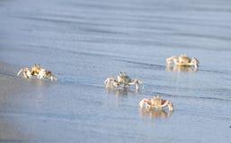 Krabbor på den Tiwi stranden Mombasa Kenya Arkivbilder