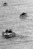 Krabbor på stranden Arkivfoton