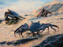 Krabbor på vaggar Fotografering för Bildbyråer