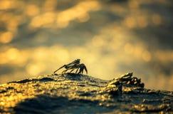 Krabbor sitter på vagga Fotografering för Bildbyråer