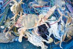 Krabbor som fångas i fisknät Arkivfoto