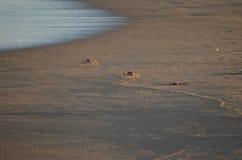 krabbor två Arkivfoton