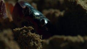Krabbor väntar på de unga hatchlingsna för hawksbillsköldpaddan att komma till dem briten royaltyfria bilder