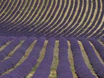 Krabbt lavendelfält i Söder-Frankrike arkivfoto