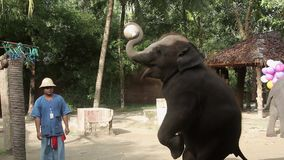 KRABI, THAILAND - DECEMBER 22, 2014: Elephant show performance stock video