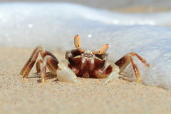 Krabportret op Tropisch Strand, Sulawesi stock foto