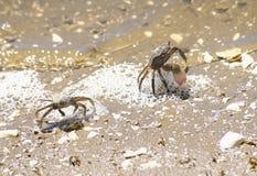 Kraby broni themseves na lagunie fotografia royalty free