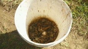 Kraby, kraba łapacz, kraba myśliwy, złapany krab, ryżu pole zbiory