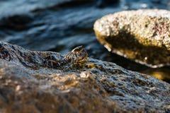 Kraby są nadwodnymi crustaceans zdjęcie royalty free