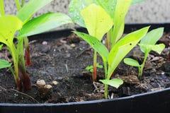 Krachai засадило в черных баках огород и травы Стоковое фото RF