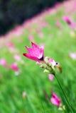 Krachiao-Blume in Thailand Stockfotografie