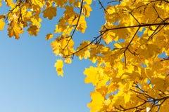 Krachtig herfst vergankelijke boom met wolkenloze hemel Stock Afbeelding