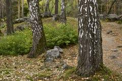 Krachtige berkboomstammen in de rotsachtige tuin stock foto