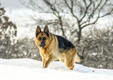 Krachtige mannelijke Duitse herdershond stock foto's