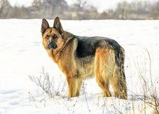 Krachtige mannelijke Duitse herdershond royalty-vrije stock fotografie