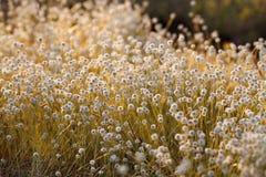 Kradumngen Flower. In Phukradung National Park, Thailand royalty free stock image