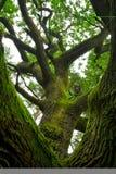 kraftig oak Royaltyfri Foto