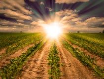 Kraftig solnedgång på lantgårdfält med rader av sojabönaskörden Arkivfoton
