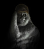 Kraftiga Gorilla Mammal Isolated på svart Arkivfoto