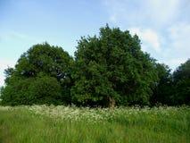 Kraftiga trädkronor i en solig äng på en sommardag royaltyfria foton