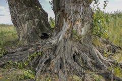 Kraftigt rotar av ett gammalt träd Arkivbild