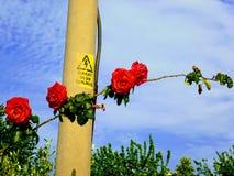 Kraftledning och rosor Royaltyfri Foto
