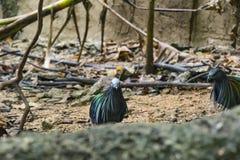 Kragentaubevogel Stockfoto