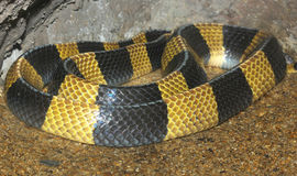Krait snake skin in zoo thailand