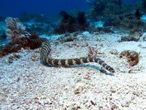 Krait unido do mar fotos de stock royalty free
