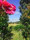 Kraj chałupy ogród różany Zdjęcie Royalty Free