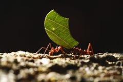 Krajacz mrówki - Atta cephalotes niesie zieleń opuszczają w tropikalnym lesie tropikalnym, Costa Rica zdjęcia royalty free