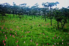 Krajeaw Flower Field at PA HIN NGAM National Park Royalty Free Stock Photo