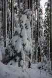 Krajobraz śnieżny zwarty las w góry Widok śnieżyste wysokie jodły i nieprzejezdni snowdrifts Obrazy Stock