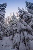 Krajobraz śnieżny zwarty las w góry Widok śnieżyste wysokie jodły i nieprzejezdni snowdrifts Obrazy Royalty Free