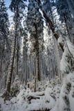 Krajobraz śnieżny zwarty las w góry Widok śnieżyste wysokie jodły i nieprzejezdni snowdrifts Obraz Stock